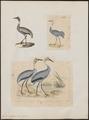 Grus antigone - 1700-1880 - Print - Iconographia Zoologica - Special Collections University of Amsterdam - UBA01 IZ17300111.tif