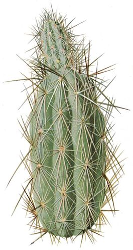 Grusonia bradtiana The Cactaceae.jpg