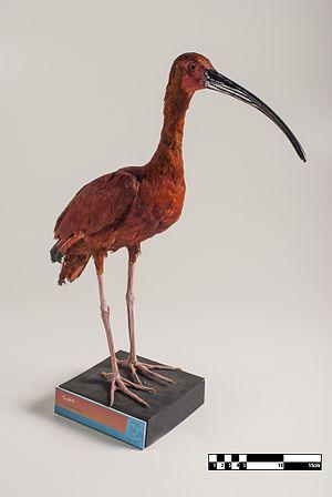 Scarlet ibis - Taxidermy specimen