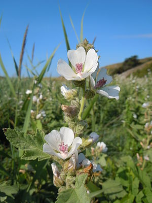 Echter Eibisch (Althaea officinalis)