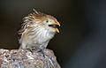 Guira-cuckoo-3.jpg