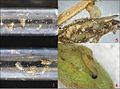 Gynnidomorpha permixtana 3. eggs; 4. early instar larva; 5. final instar larva.jpg