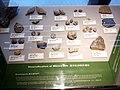 HKU 香港大學 Stephen Hui Geological Museum 許士芬地質博物館 Late Paleozoic 晚古生代 Brachiopoda Marine life rocks Oct 2016 Lnv 03.jpg