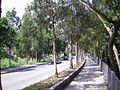 HK LamKamRoad RoadSideTrees.JPG