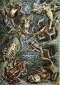 Haeckel Batrachia.jpg