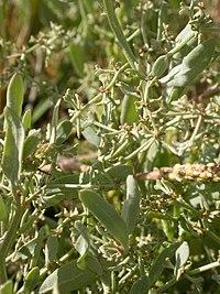 Halimione pedunculata baie-d-authie 80 21082006 2.JPG