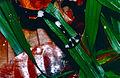 Hammerhead Flatworm (Bipalium sp.) - Niah Caves NP, Sarawak, Malaysia - Scanned slide from 2001 (4).jpg