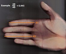 http://it.wikipedia.org/wiki/Digit_ratio