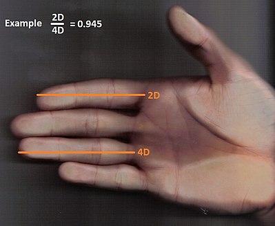 Orientation sexuelle longueur des doigts