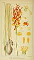 Harry Bolus - Orchids of South Africa - volume I plate 039 (1896).jpg