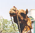 Head of a camel India.jpg