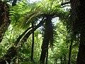 Helecho gigante - panoramio - vozachudo2004 (1).jpg