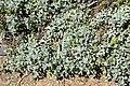 Helichrysum argyrophyllum 03.jpg