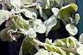 Helichrysum petiolatum 0zz.jpg