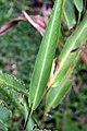 Heliconia psittacorum 23zz.jpg