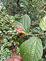 Helicteres isora - Indian screw tree, Edampiri-Valampiri, Eeswaramoori. .jpg