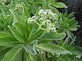 Heliotropium foertherianum - flowers (14547835408).jpg
