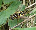 Helophilus pendulus - Flickr - gailhampshire.jpg