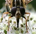 Helophilus trivittatus - Large Tiger Hoverfly - Flickr - S. Rae (6).jpg