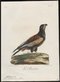 Helotarsus ecaudatus - 1796-1808 - Print - Iconographia Zoologica - Special Collections University of Amsterdam - UBA01 IZ18100341.tif
