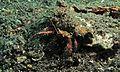 Hermit Crab (Dardanus lagopodes) (6064653515).jpg