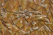 Heteropogon species in Hyderabad, AP W IMG 1369