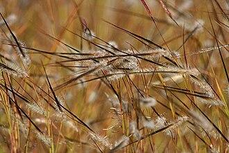 Heteropogon - Image: Heteropogon species in Hyderabad, AP W IMG 1369