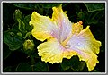 Hibiscus Yellow-White-1+ (2556932207).jpg