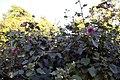 Hibiscus maculatus nipensis 3zz.jpg