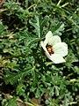 Hibiscus trionum sl31.jpg
