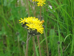 Description de l'image Hieracium pratense 4973.jpg.