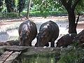 Hippopotamus - നീർക്കുതിര 04.JPG