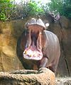 Hippopotamus at the St. Louis Zoo.jpg