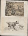 Hircus aegagrus - 1700-1880 - Print - Iconographia Zoologica - Special Collections University of Amsterdam - UBA01 IZ21300223.tif