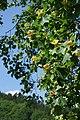 Hirschhorn (Neckar) - Ersheim - Friedhof - blühender Tulpenbaum.jpg