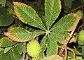 Hoja palmatisecta de Aesculus ssp.jpg