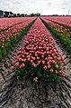 Hollands Kroon - 't Veld - Zwarteweg - Panorama View on Tulips 5.jpg