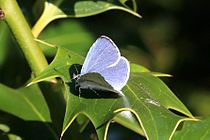 Holly blue (Celastrina argiolus) male.jpg