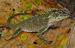 Hoplocercidae Family of lizards