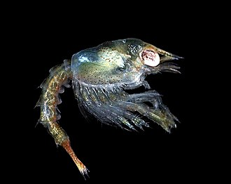 Zoea larva of the European lobster, Homarus gammarus Homarus gammarus zoea.jpg
