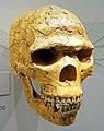 Homo neanderthalensis skull.jpg