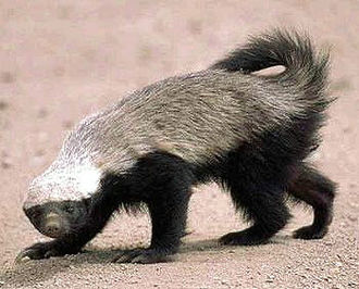 Aposematism - The honey badger's reverse countershading makes it conspicuous, warning of its aggressive temperament, and its sharp teeth and claws