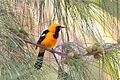 Hooded Oriole (6907341577).jpg