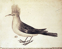 Drawing of grey-and-white bird with tufted head and curved beak