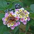 Hornet mimic hoverfly Volucella zonaria 1410394 Nevit.jpg