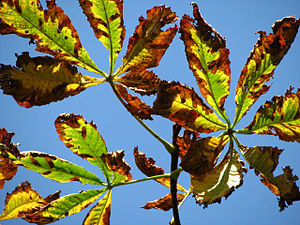 English: Horse chestnut leaves turning brown