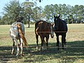 Horses in Alabama Field 11.jpg