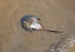Horseshoe crab (female?)-found above the waterline.jpg