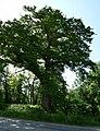 Hroby, památný strom 01.jpg