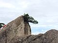 Huangshan pine.JPG